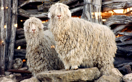 Angora-Mohair Sheep