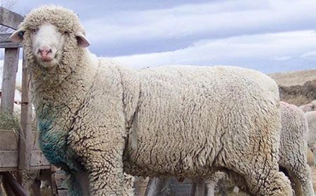 Columbia Sheep