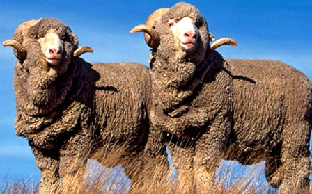 Delaine-Merino Sheep
