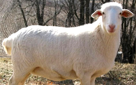 Royal White Sheep