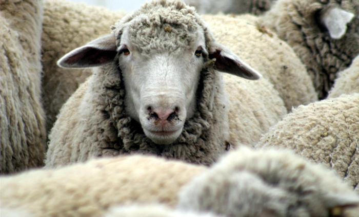 Livestock | Texas Sheep & Goat Raisers Association